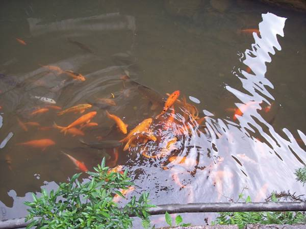 Travel to Liyu Brook of Puyuan Village for carp watching